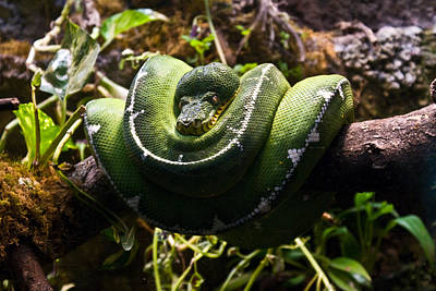 Green Boa Art Print by Douglas Barnett
