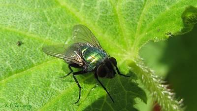 Art Print featuring the photograph Green Bottle Fly by Maciek Froncisz