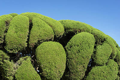 Photograph - Green Boulders - Sensually Sculptured Cypress Trees by Georgia Mizuleva