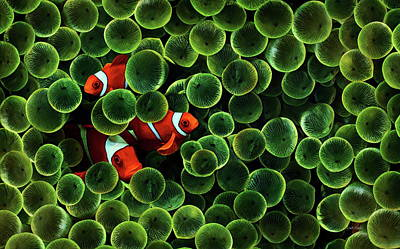 Painting - Green Bubble Tip Anemone And Three Percula Clowns by Russ Harris