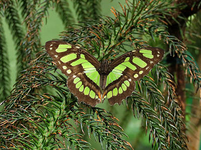 Photograph - Green Butterfly by Laurel Powell