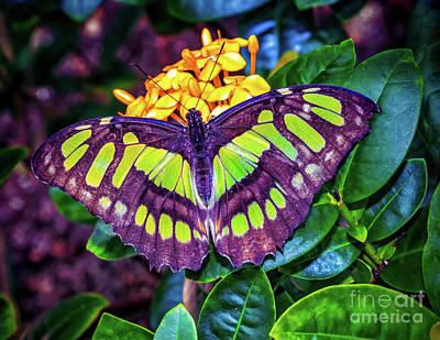 Photograph - Green  Butterfly by Nick Zelinsky