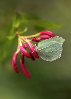 Photograph - Green Butterfly On Pink Flower by Jaroslaw Blaminsky