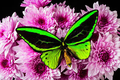 Pom Pom Photograph - Green Butterfly On Poms by Garry Gay
