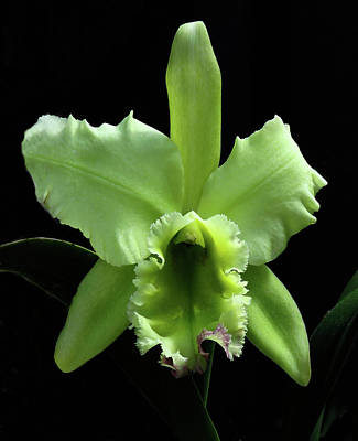 Photograph - Green Cattleya by Rosalie Scanlon
