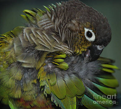 Photograph - Green-cheeked Conure by Debbie Stahre