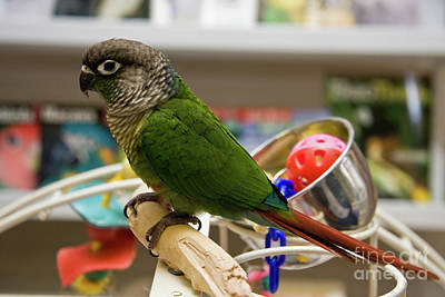 Photograph - Green Cheeked Parakeet by Jill Lang