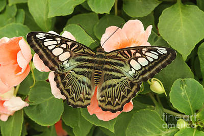 Brown Clipper Photograph - Green Clipper Butterfly by Judy Whitton
