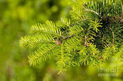 Green Coniferous Fresh Shoots Detail Art Print
