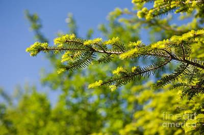 Green Coniferous New Shoots Art Print