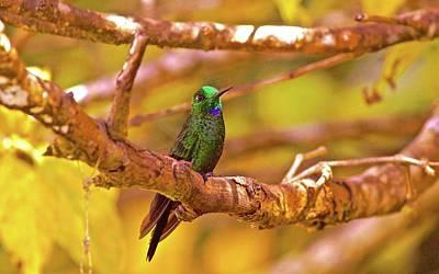 Kim Fearheiley Photography - Green-crowned Brilliant Hummingbird Costa Rica Cloud Forest by Blair Seitz