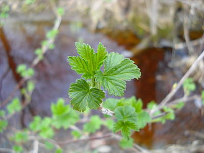 Photograph - Green Currant Leaves In May by Kent Lorentzen