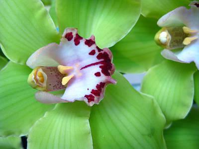 Photograph - Green Cymbidium Orchids by Heidi Hermes