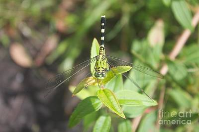 Photograph - Green Darner Or Common Green Darner by David Grant