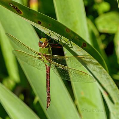 Photograph - Green Darner.... by Paul Vitko