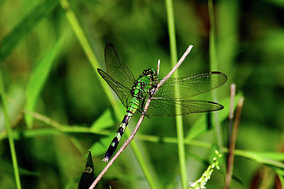 Photograph - Green Dragonfly by Brad Chambers