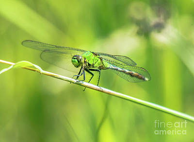 Photograph - Green Dragonfly by Cheryl Baxter