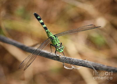 Green And Brown Photograph - Green Dragonfly On Twig by Carol Groenen
