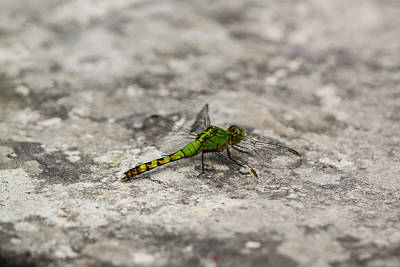 Photograph - Green Dragonfly by Ramabhadran Thirupattur