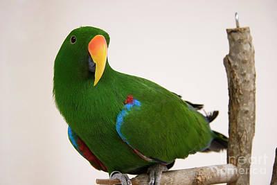 Photograph - Green Eclectus Parrot by Jill Lang