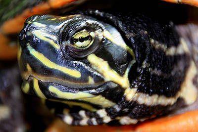 Photograph - Green Eyed Turtle by Bob Slitzan