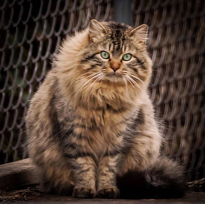 Print Cat Photograph - Green Eyes Maine Coon Cat by Terry DeLuco