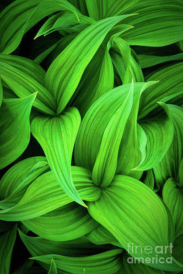 Hellebore Photograph - Green False Hellebore by Inge Johnsson