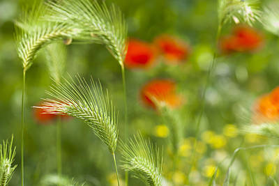 Valentines Day - Green field grass with red poppies as background by Igor Sinitsyn