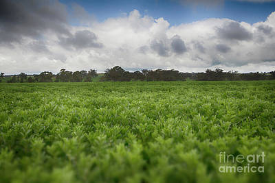 Green Fields 4 Art Print by Douglas Barnard