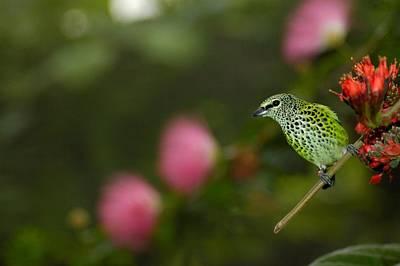 Photograph - Green Finch by Jason Pepe