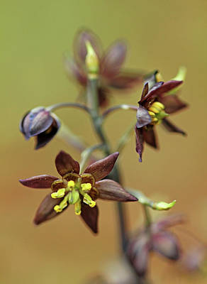 Photograph - Green Flowered Blue Cohosh by Debbie Oppermann
