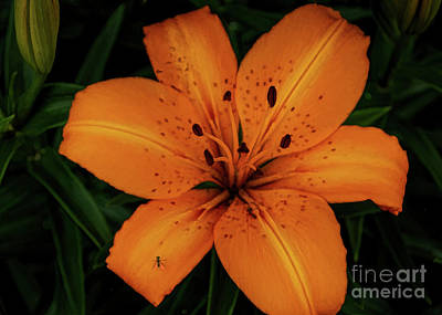 Photograph - Green Fly And Tiger Lily by Janice Rae Pariza