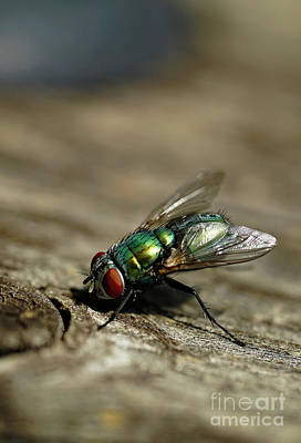 Photograph - Green Fly With Red Eyes by Giovanni Malfitano