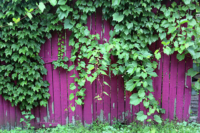 Photograph - Green Foliage Pink Fence by Mary Bedy