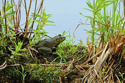Photograph - Bullfrog Among The Grasses by Bill Jordan