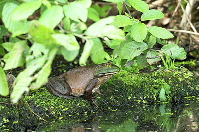 Photograph - Bullfrog In Brown by Bill Jordan