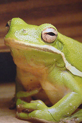 Photograph - Green Frog by J R Seymour