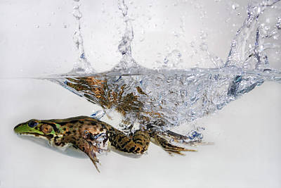 Animals Photograph - Green Frog Jumping And Splashing Into Water by Reimar Gaertner