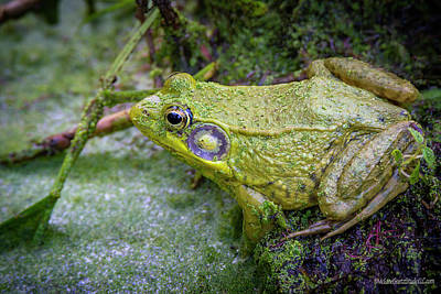 Photograph - Green Frog  by LeeAnn McLaneGoetz McLaneGoetzStudioLLCcom