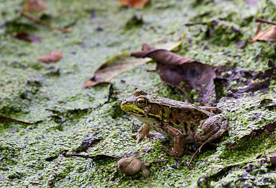 Photograph - Green Frog by Michael Chatt