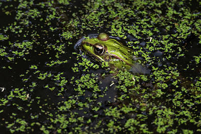 Photograph - Green Frog Peek-a-boo by Debra Martz