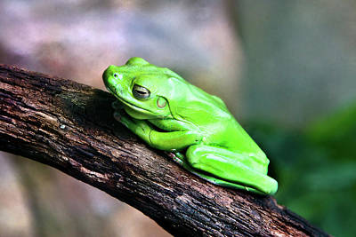 Photograph - Green Frog Sitting On A Tree by Miroslava Jurcik