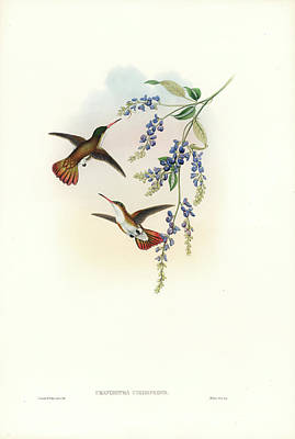 Painting - Green-fronted Hummingbird Amazilia Viridifrons by John and Elizabeth Gould