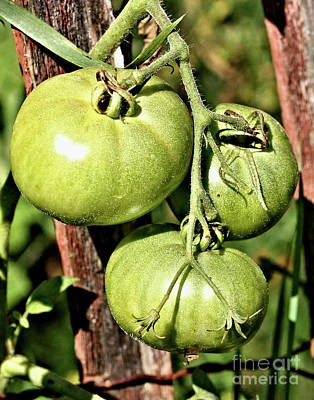 Photograph - Green Garden Tomatoes On The Vine by Smilin Eyes  Treasures