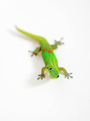 Photograph - Green Gecko by Denise Bird