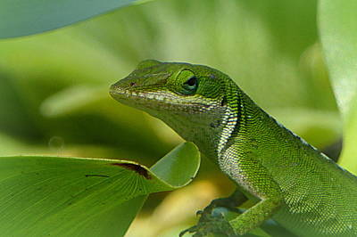 Photograph - Green Gecko On Green Leaves by Lori Seaman