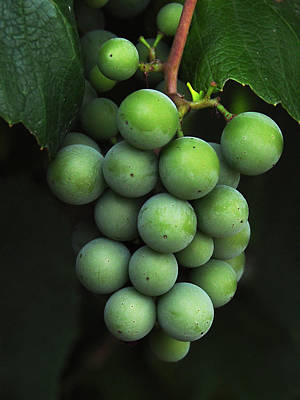 Wine Grapes Photograph - Green Grapes by Marion McCristall