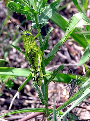 Photograph - Green Grasshopper by Adam Johnson