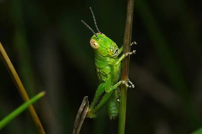 Photograph - Green Grasshopper by Bill Jordan