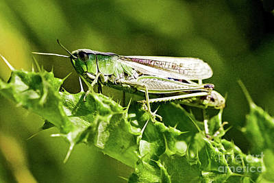 Photograph - Green Grasshopper  by Liz Alderdice